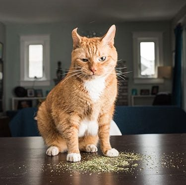 What Is Catnip & Is It Safe for My Cat?